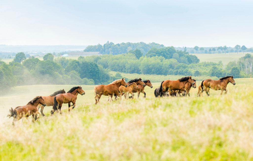 Zdjęcia koni ardeńskich